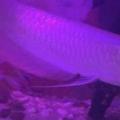 Bán (không thanh toán trực tuyến): cá ngân long