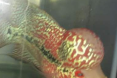 Bán (không thanh toán trực tuyến): Cá la hán kamfa size 3 ngón bổn đầu khủng!
