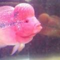Bán (không thanh toán trực tuyến): Cá La Hán Thái Đỏ Huyết đầu to size 3n