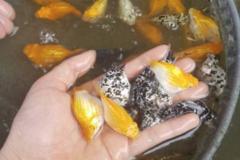 Bán (không thanh toán trực tuyến): Trại cá: Chuyên bán sỉ cá cảnh trân châu bình tích
