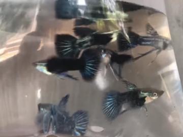 Bán (không thanh toán trực tuyến): Rồng xanh indo ribon