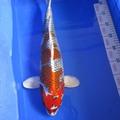 Bán (không thanh toán trực tuyến): em Kujaku size 50cm