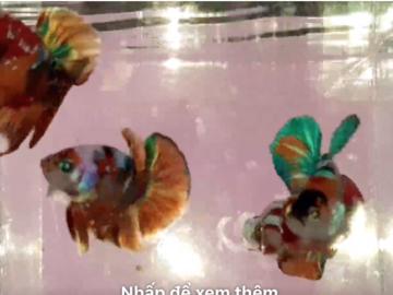Bán (không thanh toán trực tuyến): Nemo galaxy