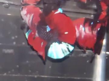 Bán (không thanh toán trực tuyến): Black Red Galaxy
