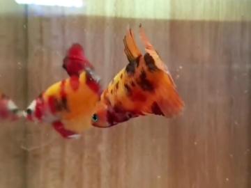 Bán (không thanh toán trực tuyến): Nemo nền vàng