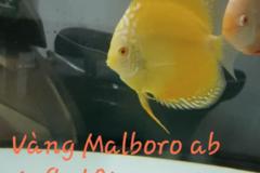 Bán (không thanh toán trực tuyến): Vàng malboro ab size 9-10