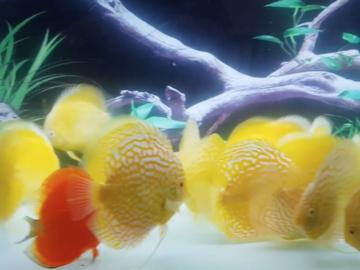 Bán (không thanh toán trực tuyến): cá dĩa đủ màu - HÀNG ĐẸP Giá Như THanh Lý