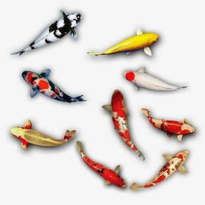 Cá chép Koi giá sỉ  khu vực miền trung